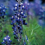 Texas_bluebonnet_plant_lupinus_texensis_with_dark_blue_flowers_with_white_top